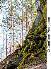 Closeup of tangled tree roots covered with green moss