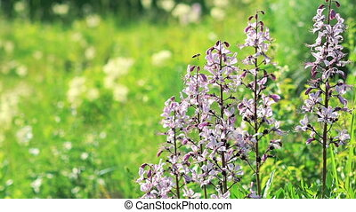 Nature: Dittany (Dictamnus albus) flowers. Slow motion -...
