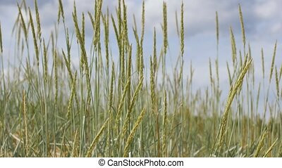 sand reed growing on beach - nature, environment and flora...