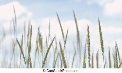sand reed growing waving in wind - nature, environment and...