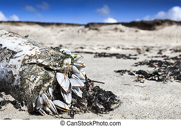 Nature everywhere: group of some sea shells stucking on a plastic flacon coastline in low tide, Brittany, France