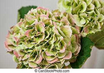 nature, extérieur, hortensia, fleurir, fond, vert, bannière florale