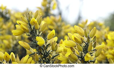 Nature Gorse or Furze Flowering Bush Macro - Close up macro...