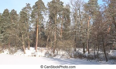 Nature in winter. Pine forest, frozen lake.