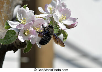 Nature,  Insects - violet carpenter bee on blossom of an ...