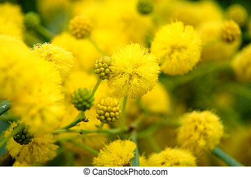 nature, jaune, closeup, arbres, (mimosa), acacia