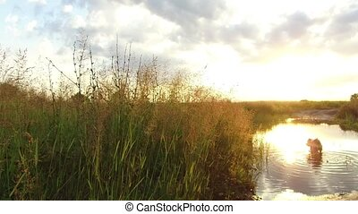 Nature lake river and grass at sunset sunlight. The dog washes in the water steadicam shot motion video