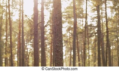 nature, landscape and environment concept - pine trees growing in coniferous forest
