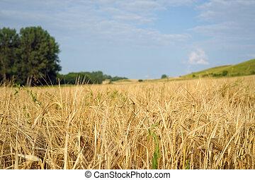 nature landscape of rye field