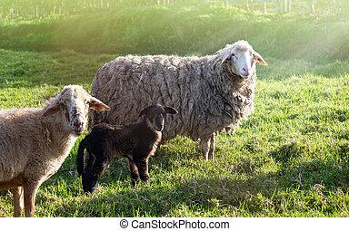 nature, mouton, meadow.