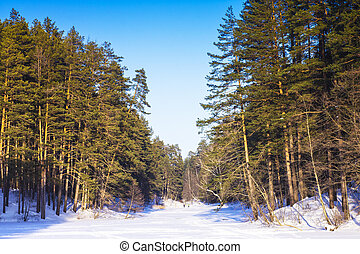 Nature of Russia. Winter forest with green trees under the blue sky.