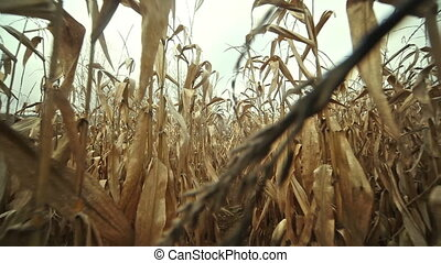 Nature rural lanscape - Through a field of corn in the...
