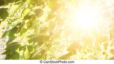 Nature scene with leaves of birch and sun light with lens flare. Tree in park with sunrise light on background