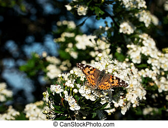 butterfly on a flower hawthorn