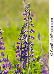 lupin - nature series: blue lupin in spring season