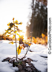 Nature, Small oak at sunrise on the background of pine forest