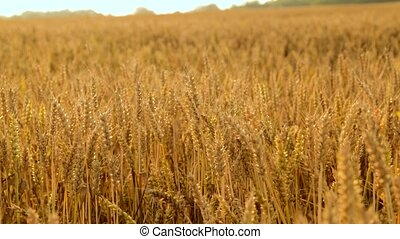 cereal field with ripe wheat spikelets - nature, summer, ...