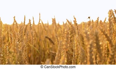 cereal field with ripe wheat spikelets - nature, summer,...