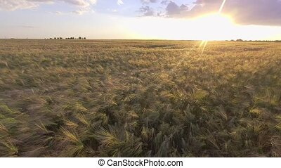 agriculture concept - cereal field with spikelets of ripe...