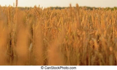 cereal field with spikelets of ripe wheat - nature, summer,...