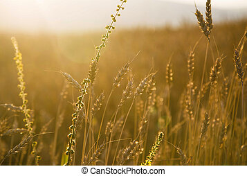 Nature wheat field in the warm sunlight