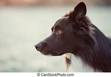 nature., winter, hund, ansicht, jagen, collie, bezaubernd, ...