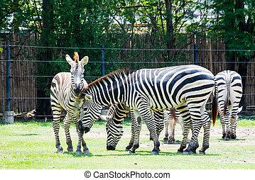 naturel, afrique, parc, zebra, safari, sud