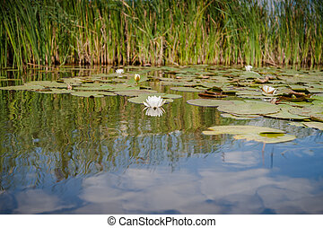 naturel, flor lotus, ellisiana, ou, tubtim, siam, lírio...