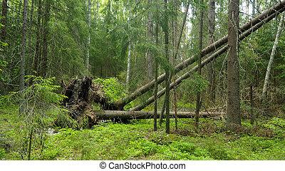 naturel, grand, arbres, forêt, baissé, racines