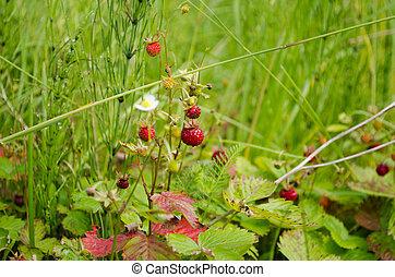 naturel, mûre, nourriture, fraises, forêt, closeup.