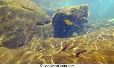 naturel, (mountain, école, river), xiphophorus, fish, habitat