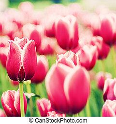 naturel, résumé, arrière-plans, tulipe rouge
