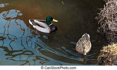 naturel, sauvage, habitat, leur, paire, canards, colvert, étang