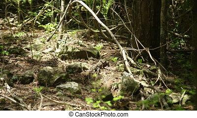 naturel, sien, habitat, iguane
