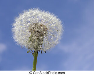 natures  - seedhead of a dandelion against a blue sky