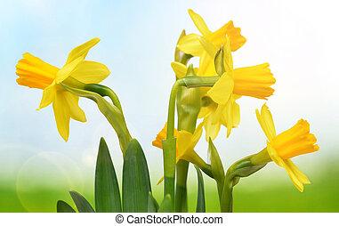 natureza, amarela, obscurecido, experiência., narcissus, flores
