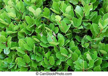 natureza, folhas, experiência., verde, vegetal, laurel, cerca, bushes., textura