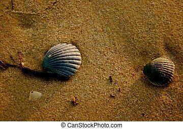 natureza, praia, conchas