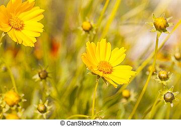 naturlig, över, solsken, gul fond, blomningen