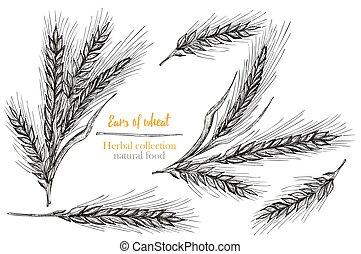 naturlig, botanik, herbal, gravyr, kärve, årgång, bakgrund., vit, isolerat, örn, oavgjord, mat, vete, sätta, collection., skiss, hand, frame., style., vektor, illustration.