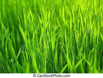 naturlig, forår, grass., grøn baggrund, frisk, græs