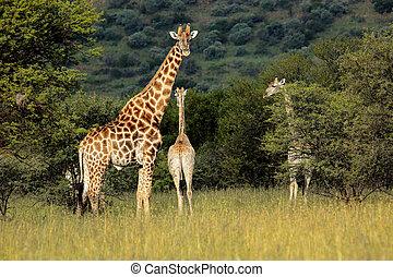 naturlig, habitat, giraffer