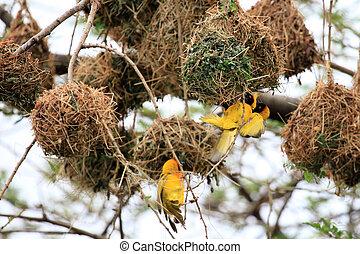 naturliv fågelreservat, -, gul, uganda, vävare fågel