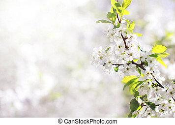 natuur, achtergrond, van, lente, floral, witte bloemen, tak, blossom , appel