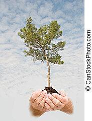 natuur, symbool, boompje, dennenboom, bescherming, handen