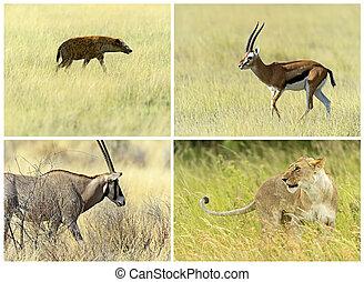 natuurlijke,  Habitat, Savanne,  Mammals, Hun, afrikaan
