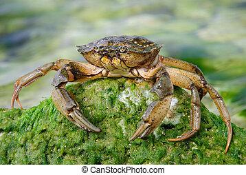 natuurlijke , krab, in, de, zee water, op, groene, steen,...