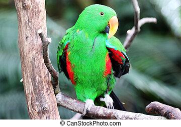 natuurlijke , papegaai, milieu, roratus eclectus, zijn