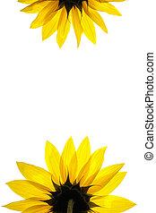 natuurlijke , zonnebloem, witte , details., leeg, verfraaide, pagina