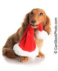 Naughty dachshund dog chewing on Santa's hat.